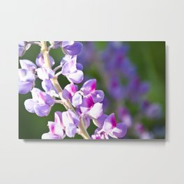 Pink and Purple Lupine Metal Print