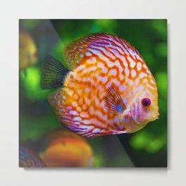 Discus Fish Metal Print