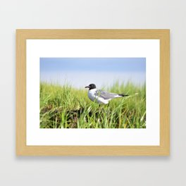 Laughing Gull Framed Art Print