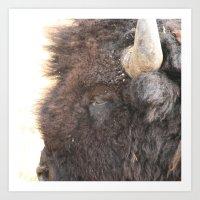 Yellowstone Bison - close up 2 Art Print
