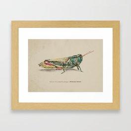 Thomas's two-striped Grasshopper - Melanoplus Tomasi Framed Art Print