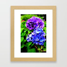 Hydrangeas Blue Purple Framed Art Print