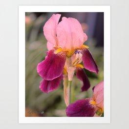 Tall Bearded Iris named Indian Chief Art Print