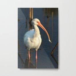 American Ibis Metal Print