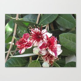 Fejoja bloom Canvas Print