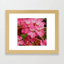 Pink Geranuims Framed Art Print