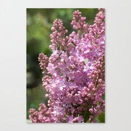 Lilac (Syringa vulgaris) Canvas Print