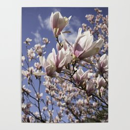 Magnolia Blossoms Shiver Against A Chill Wind Poster