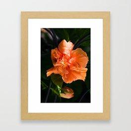 Apricot Hibiscus Framed Art Print