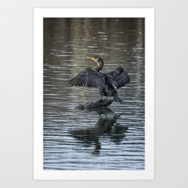 Double-Crested Cormorant Portrait Art Print