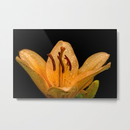 Yellow lily Metal Print