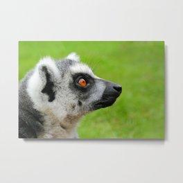 Lemur at Lake District Zoo Metal Print