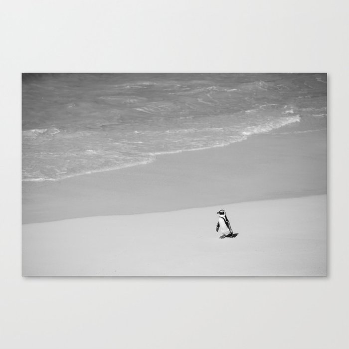 Lone African Penguin walking on beach Canvas Print