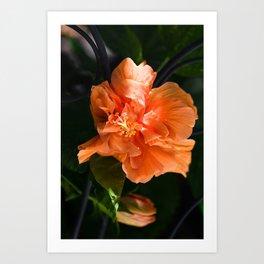 Apricot Hibiscus Art Print