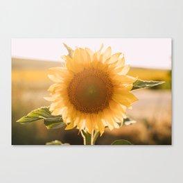 Sunflower´s Season (VI) Canvas Print
