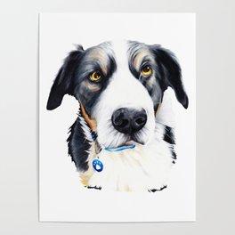 Kelpie Dog Poster
