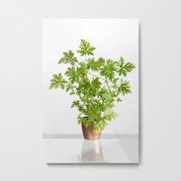 Pelargonium citrosum plant Metal Print
