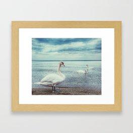 Swan 3 Framed Art Print