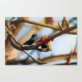 SunBird on a Bombax Ceiba, also known as red silk cotton or red cotton tree. Canvas Print