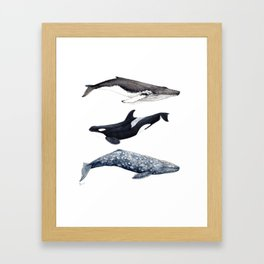 Orca, humpback and grey whales Framed Art Print