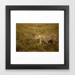 Lion in the wild. Framed Art Print