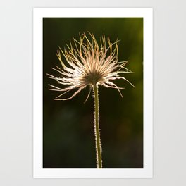 withered blossoms of pasque flowers 3 Art Print
