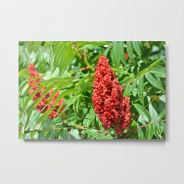 Sumac Flowers Metal Print