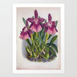 Vintage Purple Lady Orchids Miltonia Spectabilis Moreliana Art Print