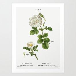 1. White rose of York, Rosa alba 2. Burnet rose, Rosa pimpinellifolia from Traité des Arbres et Arbu Art Print