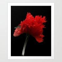 one red poppy on black background Art Print