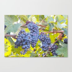 Grapes in Tuscany Canvas Print