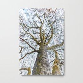 Acacia tree trunk and blue sky Metal Print