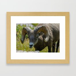 Bighorn Sheep Close-up Framed Art Print