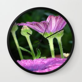 Purple And Pink Daisy Flower in Full Bloom Wall Clock