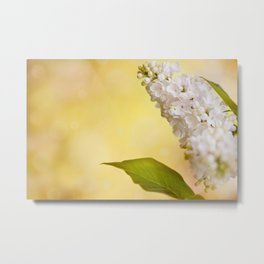White Syringa vulgaris or lilac Metal Print
