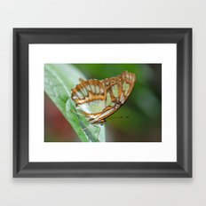 Gorgeous George Butterfly Framed Art Print