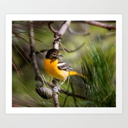 Oriole and Pine cone Art Print