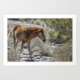 Salt River Wild Foal Art Print