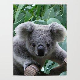 Koala and Eucalyptus Poster