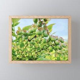 Unripe Blueberries on a Bush Framed Mini Art Print