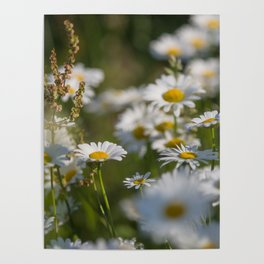 Daisies meadow in the summer Poster