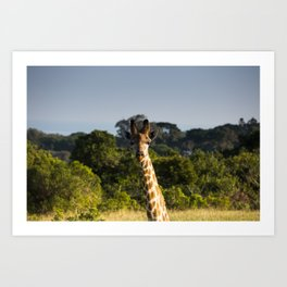 A Giraffe in the Wild Art Print