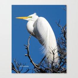 Male Great White Egret Canvas Print