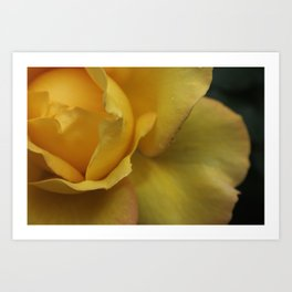 Yellow rose after the rain. Art Print