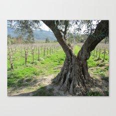 Olive tree in vineyard Canvas Print