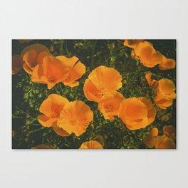 California Poppies 007 Canvas Print