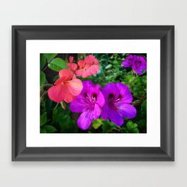 Pink geraniums and purple flowers Framed Art Print