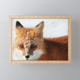 Snowy Faced Cheeky Fox with Tongue Out Framed Mini Art Print