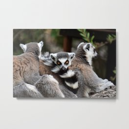 Ring-tailed lemur Metal Print