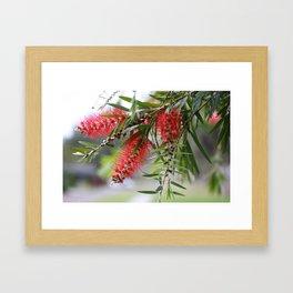 Bottlebrush Tree Framed Art Print